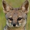 Бенгальская лисица