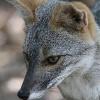 Секуранская лисица