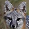 Серая лисица