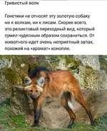 Гривистый волк Генетики не относят эту золотую собаку ни к волкам, ни к лисам. Скорее всего, это реликтовый переходный вид, который сумел чудесным образом сохраниться. От животного идет очень неприятный запах, похожий на «аромат» конопли.